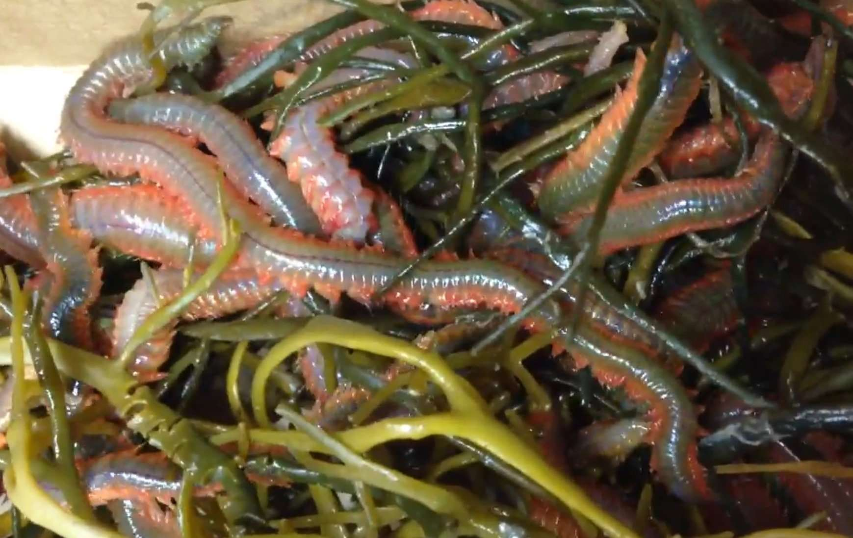 Surfland bait and tackle plum island fishing worms for Worms for fishing bait