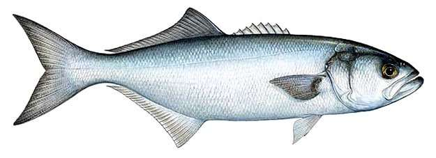 Bluefish1